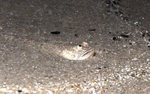 Милая австралийская рыба-звездочет