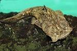 Милый лягушкорот
