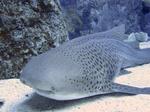 Симпатичная зебровая акула