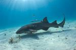 Акула-нянька под водой