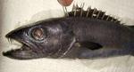 Рувета-рыба
