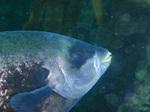 Рыба семества Оплегантус