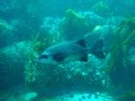 Рыба Оплегантус плывет