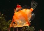 Оранжевая рыба кабан
