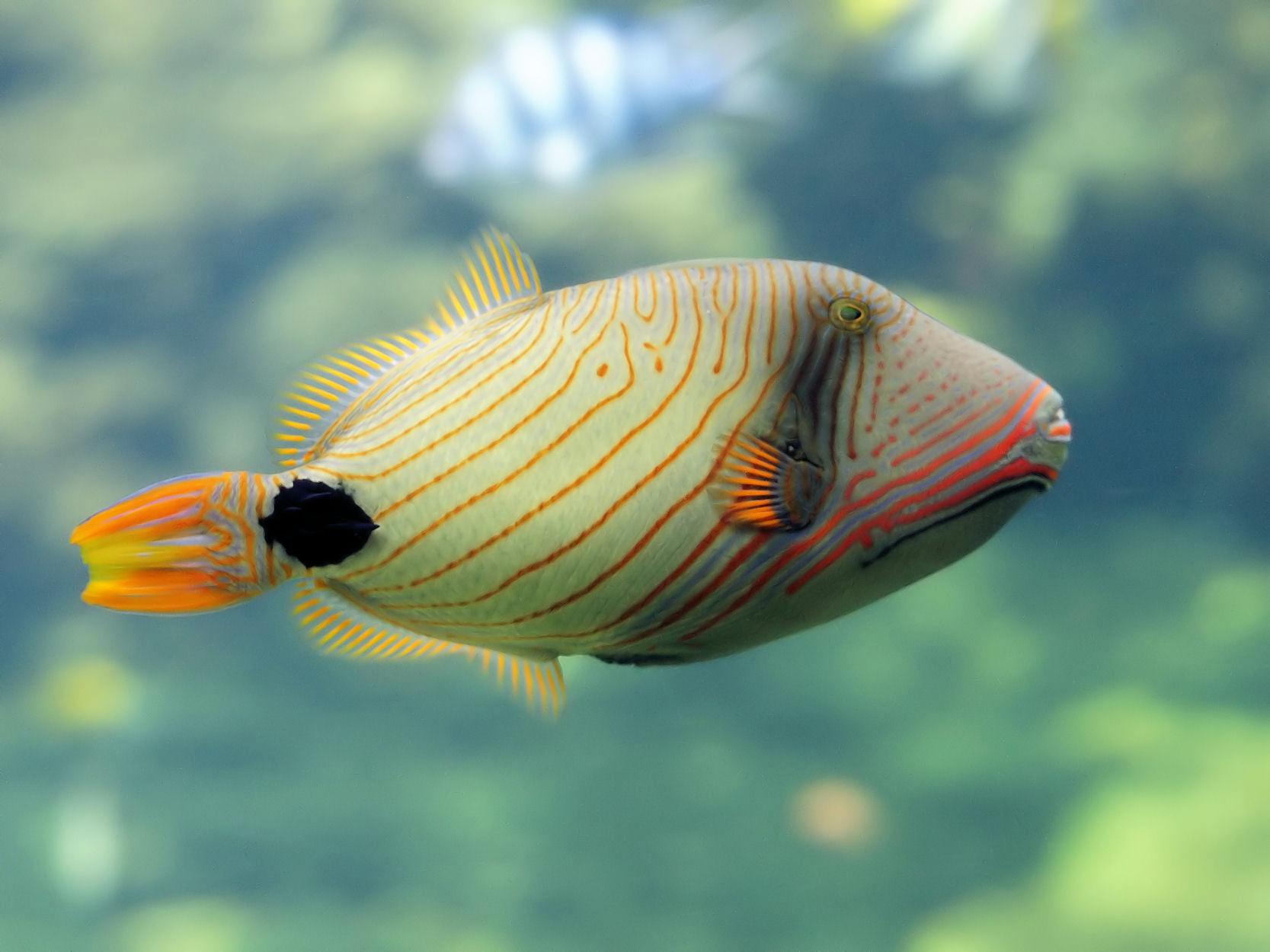 Оранжевополосый балистап фото