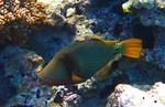 Оранжевополосый балистап плывет