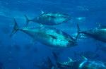 Тихий голубой тунец