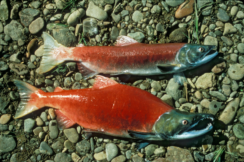 Тихоокеанский лосось фото