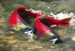 Тихоокеанские лососи на поверхности