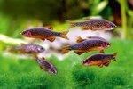 Рыбки Данио в аквариуме