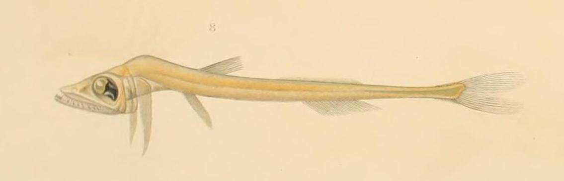 Жемчужноглазая рыба фото