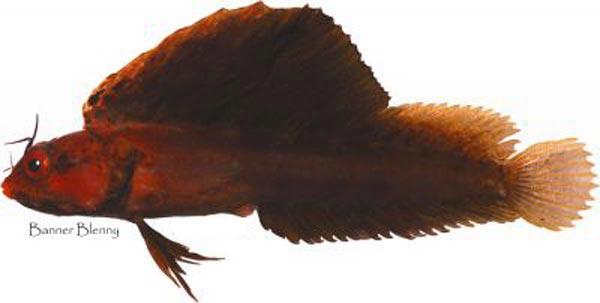 Хенопсиевая рыба фото