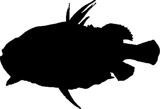 Рыба-рыцарь фото