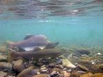 Горбуша под водой