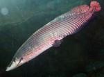 Рыба Арапаима плывет