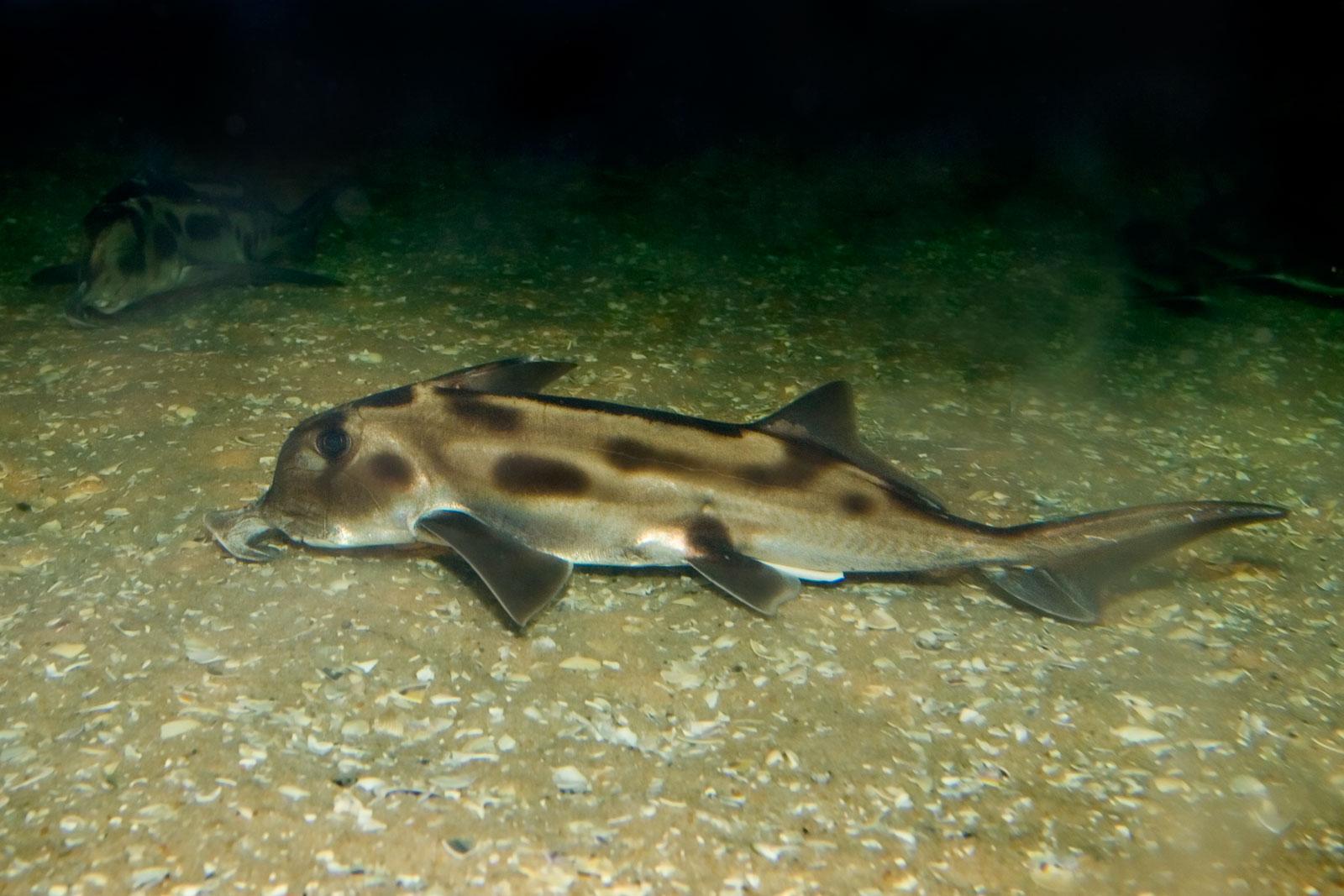 Рыба-химера  фото