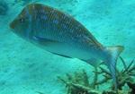 Морской лещ под водой