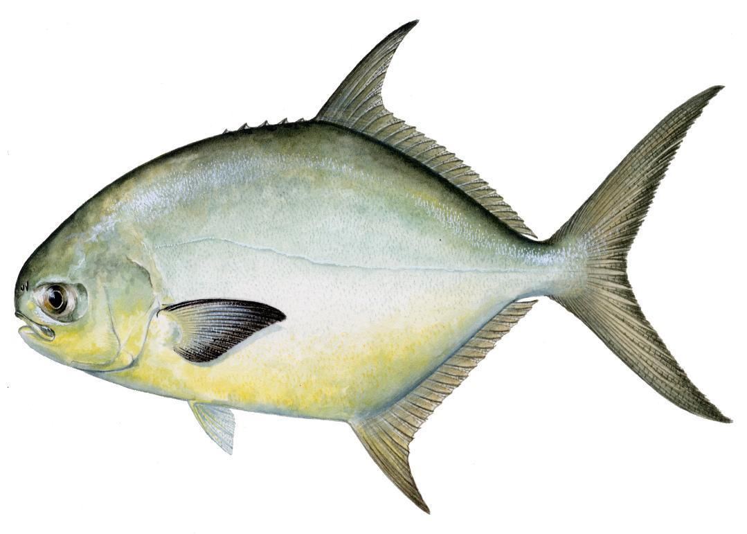 рыба толстолобик костлявая