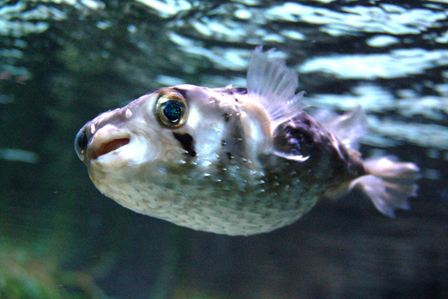 Рыба-ёж фото