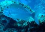 Морской окунь