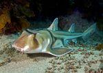 Австралийская бычья акула плывет