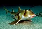 Австралийская бычья акула на песке