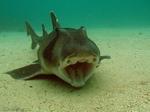 Австралийская бычья акула на дне
