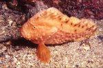 Рыба-запрора в камнях