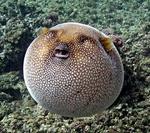 Иглобрюхая рыба на камнях