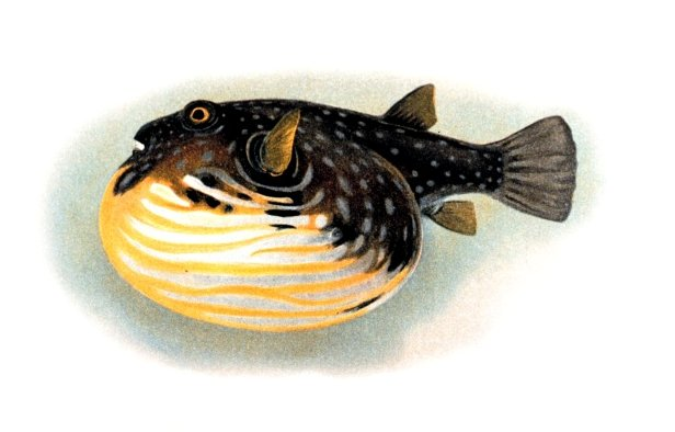 Иглобрюхая рыба фото