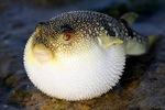 Иглобрюхая рыба лежит