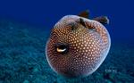 Иглобрюховая рыба плывет