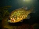 Солнечная рыба в аквариуме
