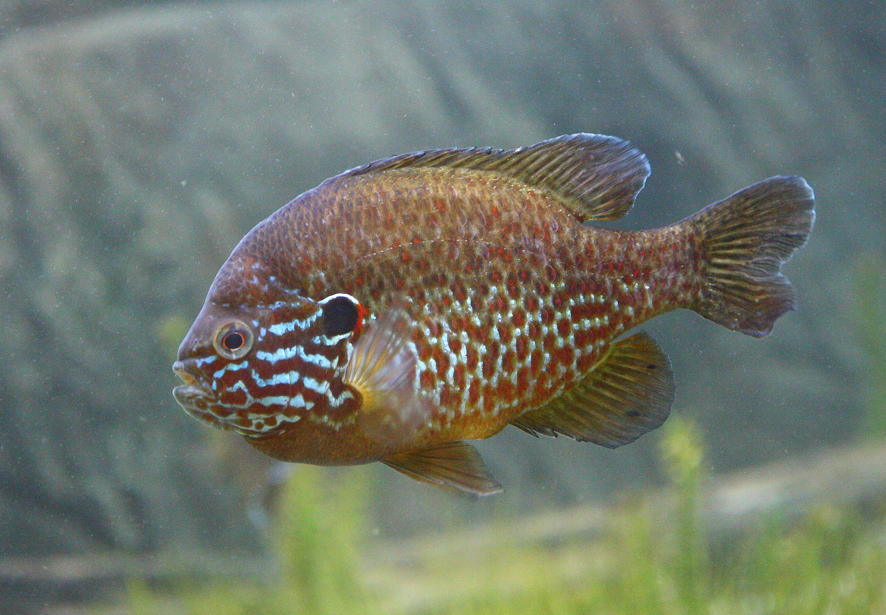 Обыкновенная солнечная рыба фото