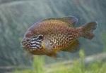 Обыкновенная солнечная рыба плывет