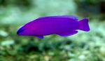 Фиолетовая рыбка Дотти