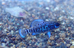 Карликовая солнечная рыба на камнях