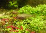 Карликовая солнечная рыба в траве