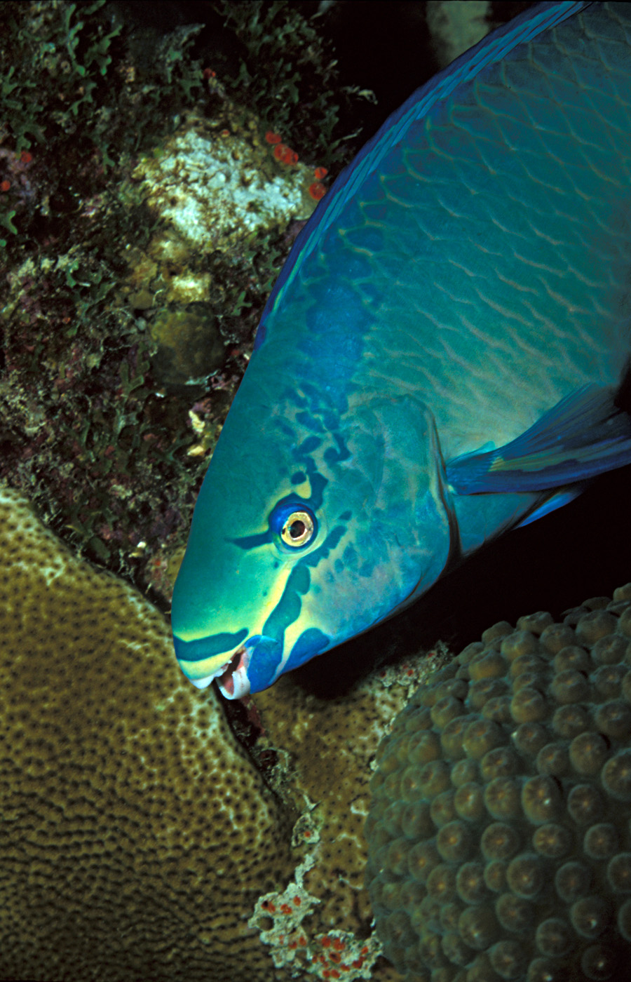 Рыба-попугай фото