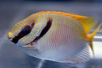 Сигана в аквариуме