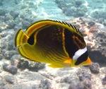 Рыба-енот под водой