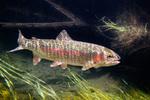 Рыба Микиижа(Ралужная форель) плывет