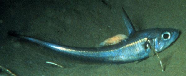 Долгохвостовая рыба фото