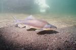 Рыба бронепанцирь плывет