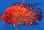 Красный цихловый