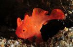 Красная клоуновая рыба