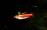Красная рыба-карандаш