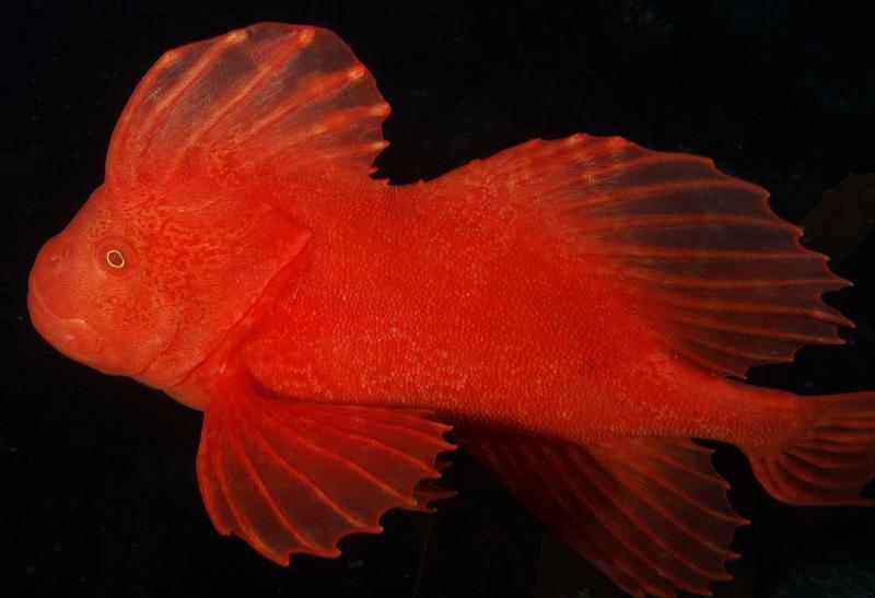Красная вельветовая рыба фото