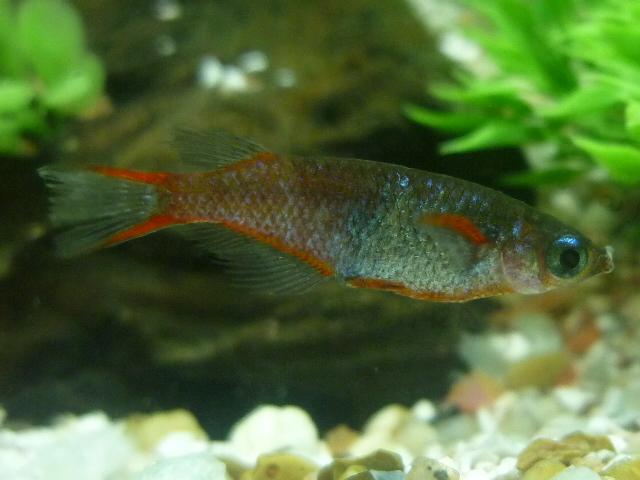 Адрианихтиевая рыба фото