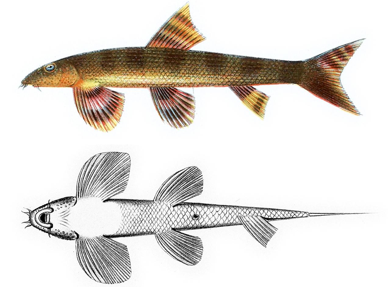 Балиториевая рыба фото
